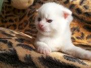 Шотландские Вислоухие и Прямоухие плюшевые короткошёрстные котята