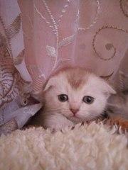 Шотландские котята редких окрасов шиншиллы